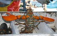 Orleans Seafood Market has fresh live lobsters and we'll cook them free!