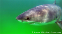 White Shark identified and cataloged as part of a population study