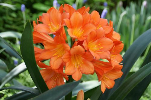 Orange Clivia