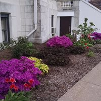 Beautiful rhododendrons on the north side of the Courthouse