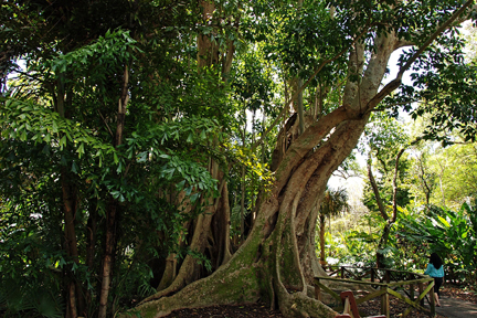 The largest single trunk tree in Florida is this Cluster Fig at Flamingo Gardens