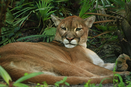 Florida Panther at Flamingo Gardens Everglades Wildlife Sanctuary