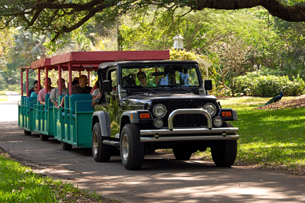 Take a narrated Tram Tour through some of the last remaing jungle growth in South Florida at Flamingo Gardens