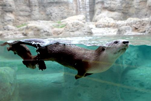 North American river otters live and play in their own two-story, indoor/outdoor habitat, complete with swimming pool and waterfall.