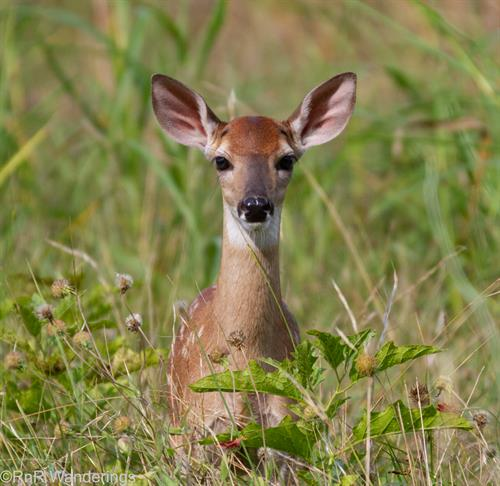 Summer fawn at our own Cleburne State Park - this is why you drive slowly and carefully through our natural areas!