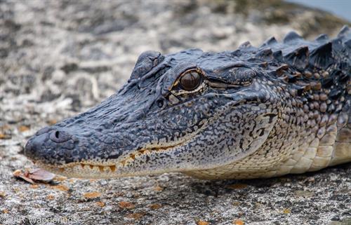 Young alligator at Huntsville State Park