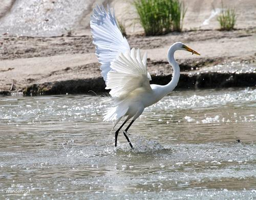 Gorgeous egret showing off its fishing prowess
