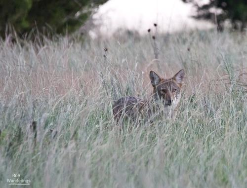 Coyote in the wild field