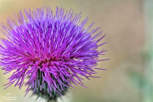Who doesn't love thistles?