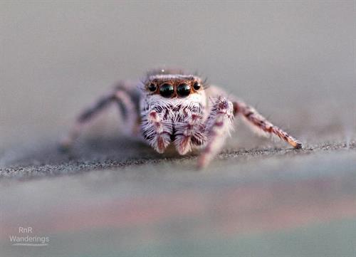 "Tiny jumping spider posing with envy-worthy ""eyelashes"""