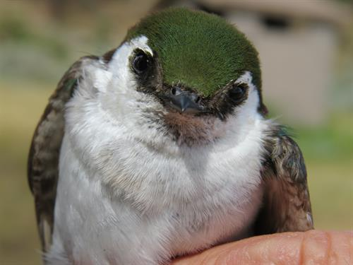 Bird Banding by Audubon Rockies