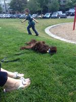 Fudge enjoying the park with distractions.