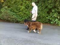 An owner walking his dogs....together!