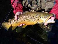 Taneycomo Brown Trout