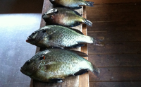 Redear are easy to catch on Table Rock, good fighters and great to eat.