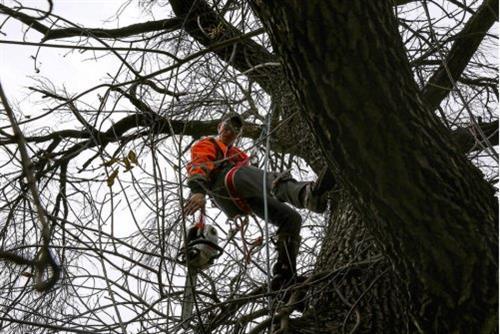 Cottonwood Tree Removal