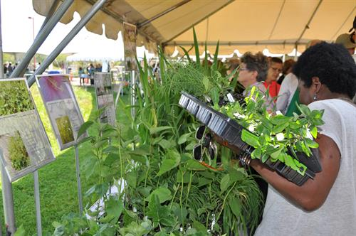 Shopper at our Bringing Nature Home Native Plant Sale in May.