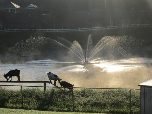 Our pond area has lots to see...a fountain, goats, ducks & geese.