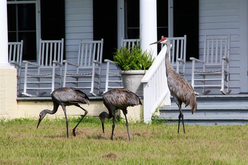 Watch our sandhill cranes from the Manor porch
