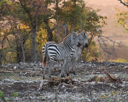 Gallery Image Zebras.jpg