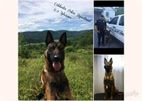 Colchester PD K9 Tyberious