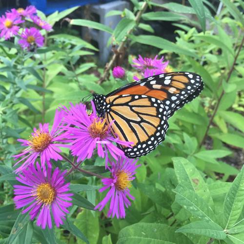 Monarch Butterfly on Aster.