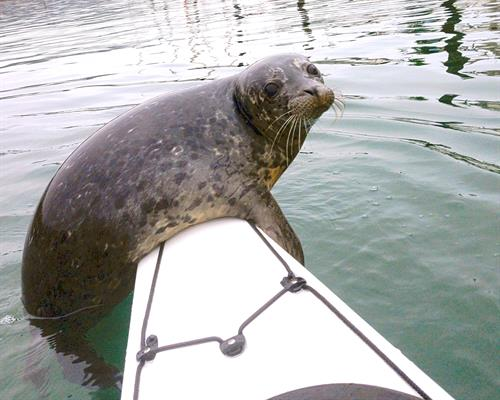 A friendly Harbor seal hitches a ride in the marina. Too much fun!