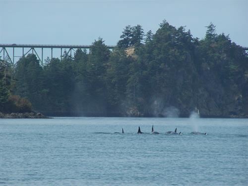 Gallery Image Whales_In_Deception_Pass_2011_010.JPG