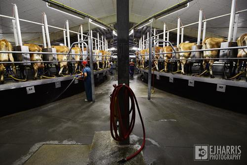 Gallery Image documentary-photography-livestock-dairy-cows.jpg
