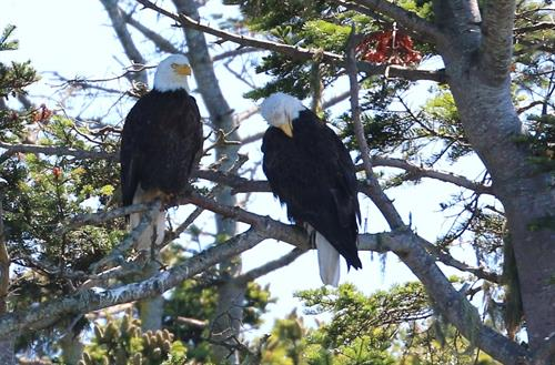Bald Eagles, Photo by Bonnie Gretz