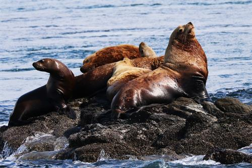 Sea Lions, Photo by Bonnie Gretz