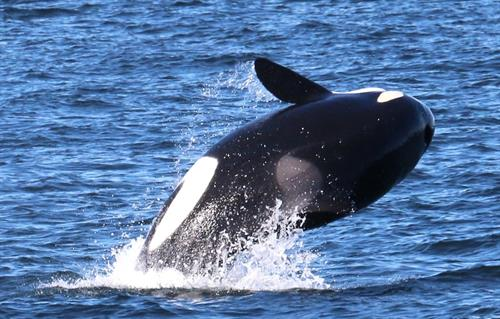 Orca Whales, Photo by Bonnie Gretz
