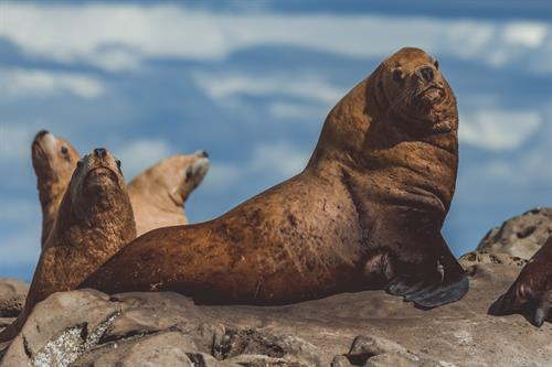 Steller Sea Lion by Slater Moore