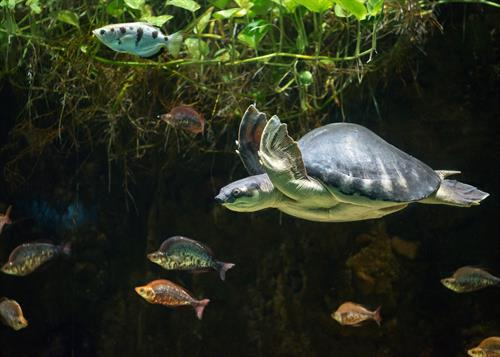 Get eye-to-eye with a fly river turtle and other reptiles, amphibians, invertebrates at the LAIR. Other exhibit highlights include Rainforest of the Americas and Elephants of Asia.