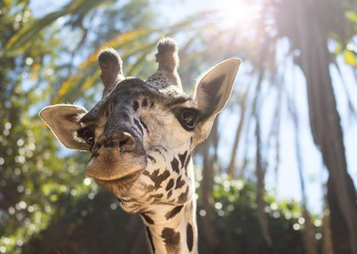 Have a close encounter with our tallest residents at a Giraffe Feeding. Offered daily, $5 per person, cash only.