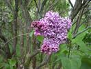 Moore's Hill Lilacs