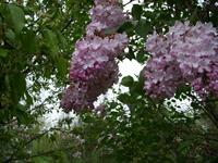 Esther Staley pink lilac, Moore's Hill Lilacs