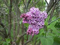 Sensation lilac, deep purple with white border, Moore's Hill Lilacs