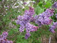 Alfred F. Holden, a bi-color effect, Moore's Hill Lilacs