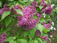 Burgandy Queen, Moore's Hill Lilacs