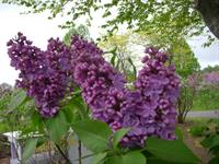 Frank's Fancy, a deep purple lilac, Moore's Hill Lilacs