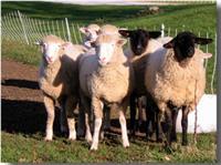 Gallery Image sheep.jpg