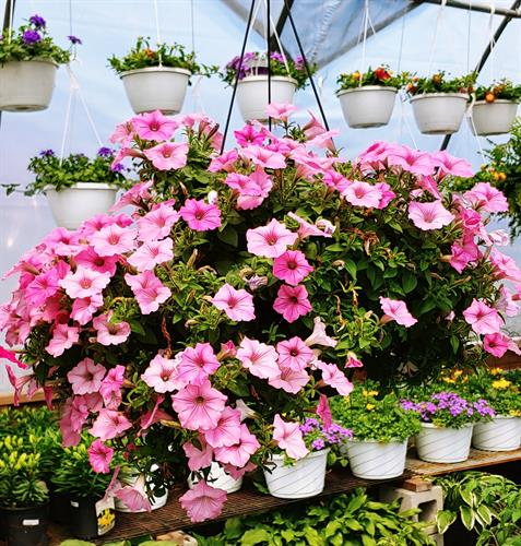 Many Hanging Baskets
