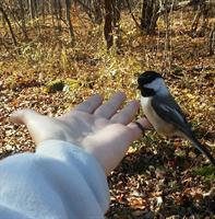 Gallery Image Cheating_the_chickadee.jpg