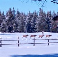 Resident elk herd seen in winter