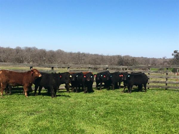 2014 Fall Bulls after Weaning