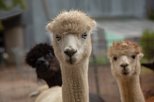 Heartland Farm Female Huacaya Alpacas