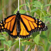 Ellsworth Public Library presents: Monarch Tagging with Amy Miller
