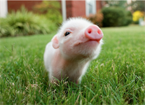 Hog Day