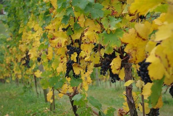 Gallery Image bluestone_vineyard_vines_in_the_fall_for_web__large.jpg